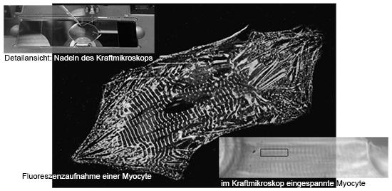 Darstellung der Kraftmessung einer einzelnen Myocyte