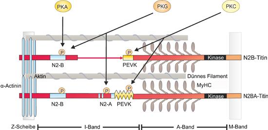 Schematische Darstellung der Titin-Phosphorylierung und involvierte Proteinkinasen